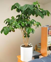 A sample of a flourishing Indoor Coffee Plant.
